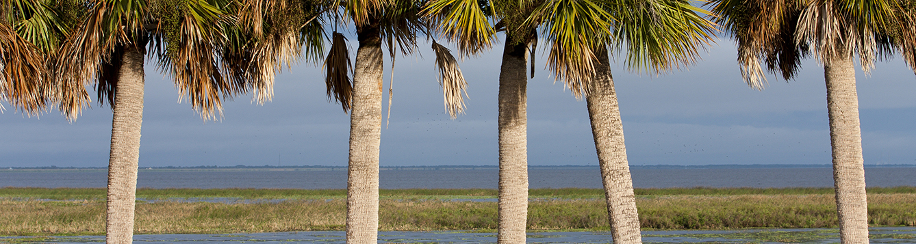 Cabbage palms and birds on Lake Okeechobee. Cabbage palm, sabal palm, Sabal palmetto, wading birds, bird, avian, lake, marsh, wetland. UF/IFAS Photo by Tyler Jones.