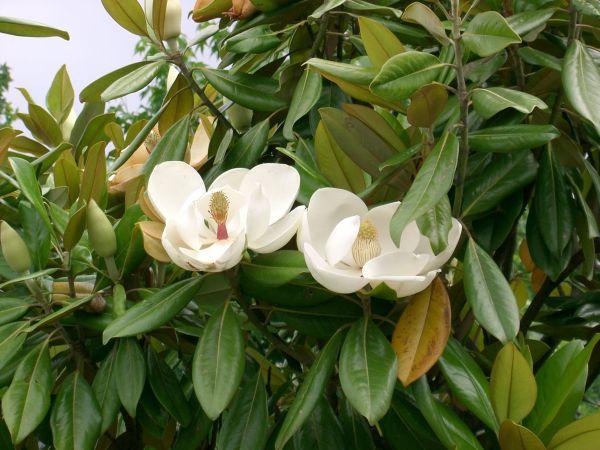 Grandiflora-Magnolia