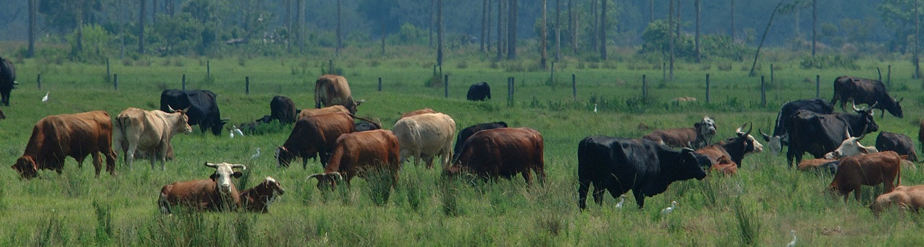 Beef cattle on a South-Central Florida ranch near Yeehaw Junction.