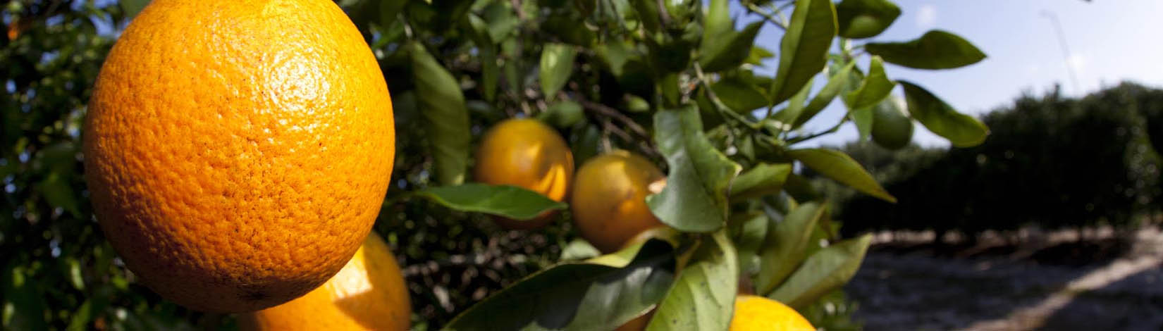 Oranges_on_tree
