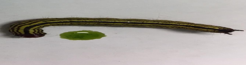 azalea-caterpillar