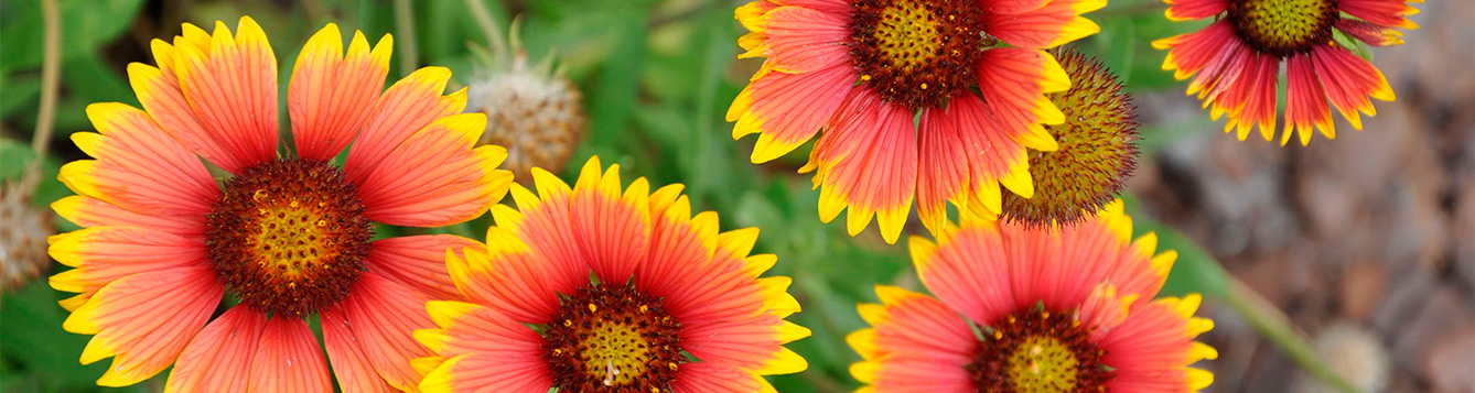 Gaillardia pluchella Photograph by Stephen H Brown UF IFAS Lee County