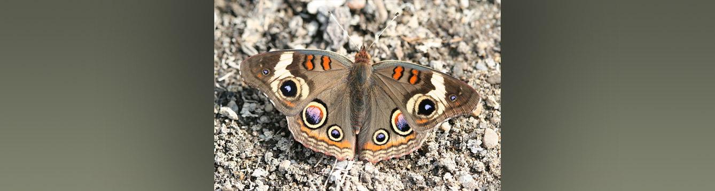 Common Buckeye, Junonia coenia