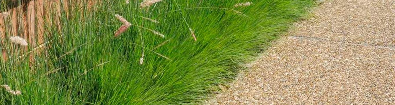 ruby grass