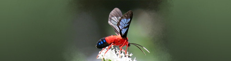 wasp moth, Cosmosoma myrodora