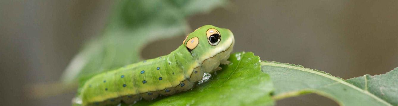 Eastern Tiger Swallowtail Caterpillar