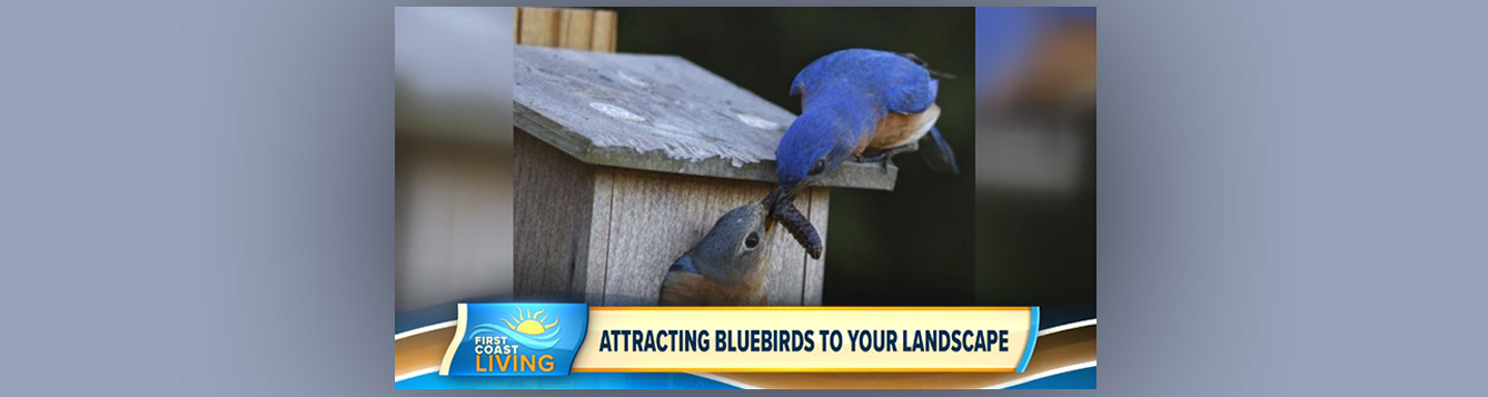 First Coast News Video about Bluebirds