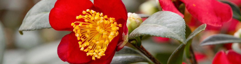 Yuletide Camellia Camellia sasanqua 'Yuletide'