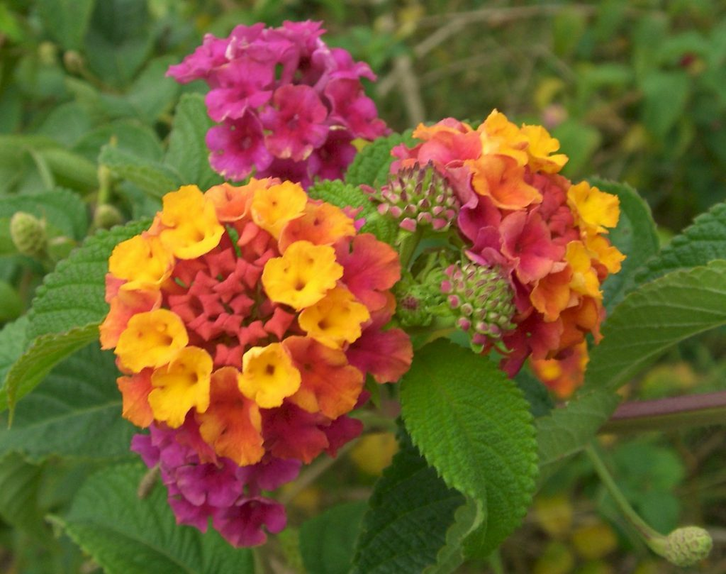 Flowering cluster of Lantana camara