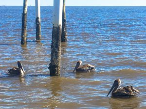 The brown pelican on the far right had fishing tackle on its wing.