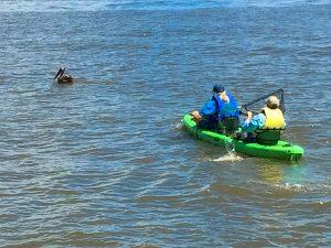 Cedar Key Bird Rescue lead volunteer Crosby Hunt heading to capture an entangled pelican.