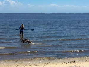 Cedar Key Bird Rescue volunteer Rick Anthony heading to capture an entangled pelican.