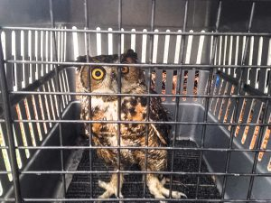 Great Horned Owl with an eye injury on the way to rehab.