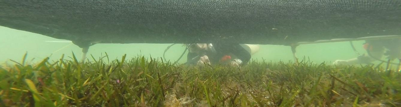 a diver studies seagrass