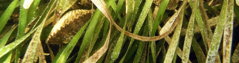 Scallops nestled in seagrass