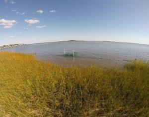 A fyke net captures organisms fleeing the marsh as the tide falls