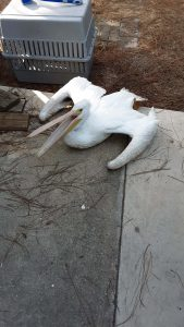 White pelican opens beak