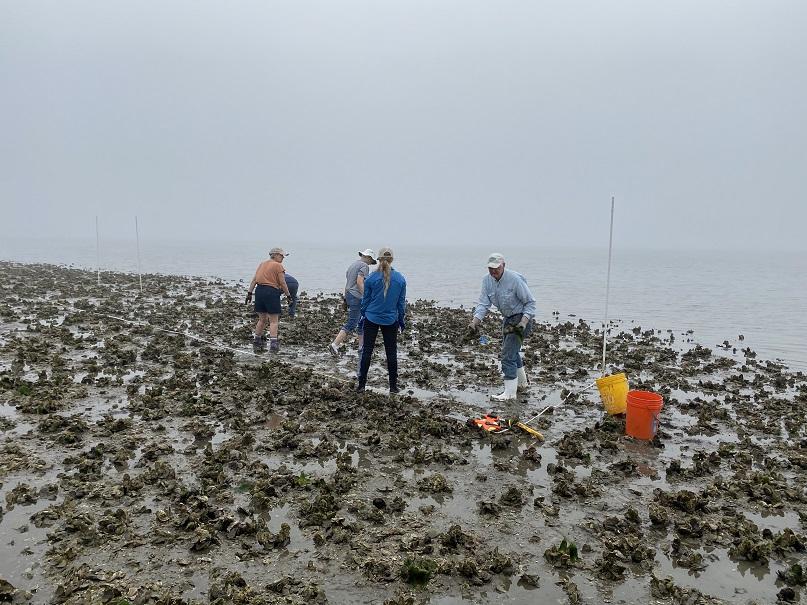 Volunteers relocate oysters outside of restoration footprints