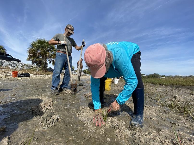 Volunteers plant marsh grass on a shoreline in Cedar Key