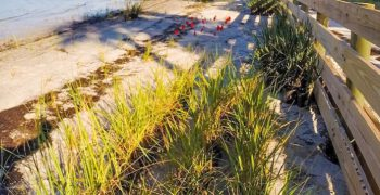 shoreline with transplanted marsh grass that will grow into a living shoreline