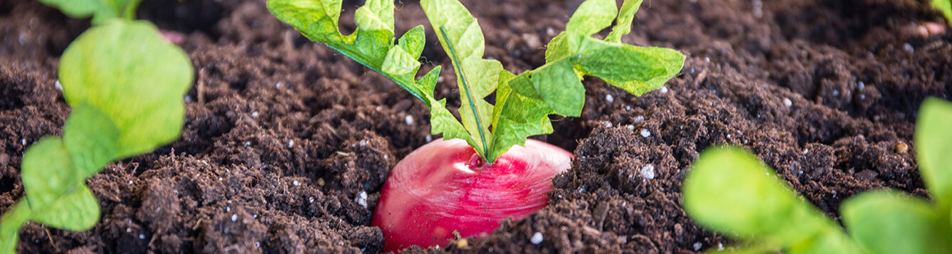 Beets in Soil