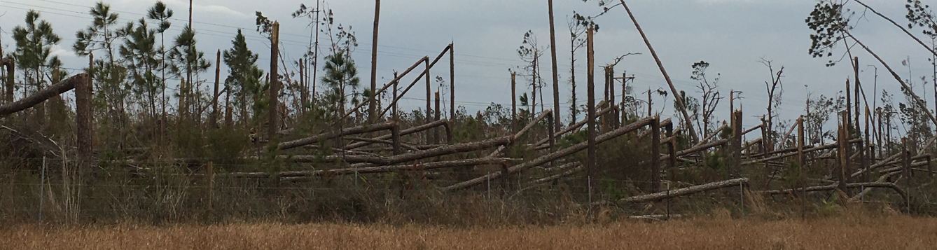 fallen trees after Hurricane Michael