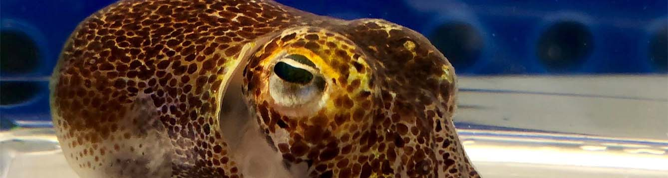 image - research - Hawaiian bobtail squid - credit Sarah McNulty