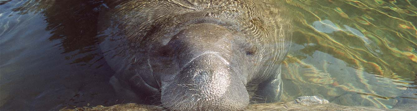 image - research - manatee surfacing at risk for mosquito-borne illness
