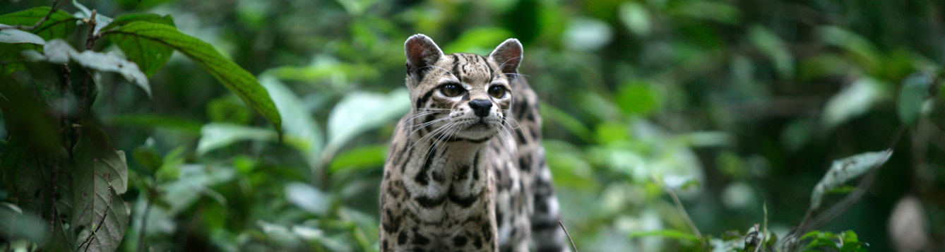 A margay in Belize. Getty Images