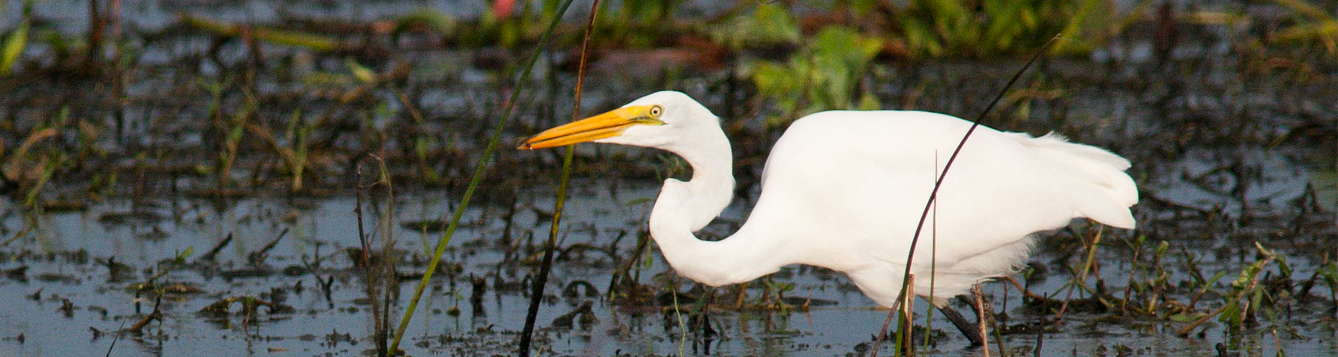 great egret walking through the water