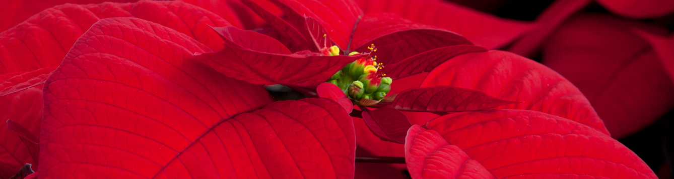 Red poinsettias during the annual Poinsettia Sale
