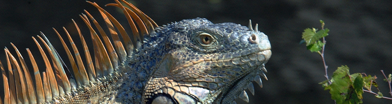An invasive iguana
