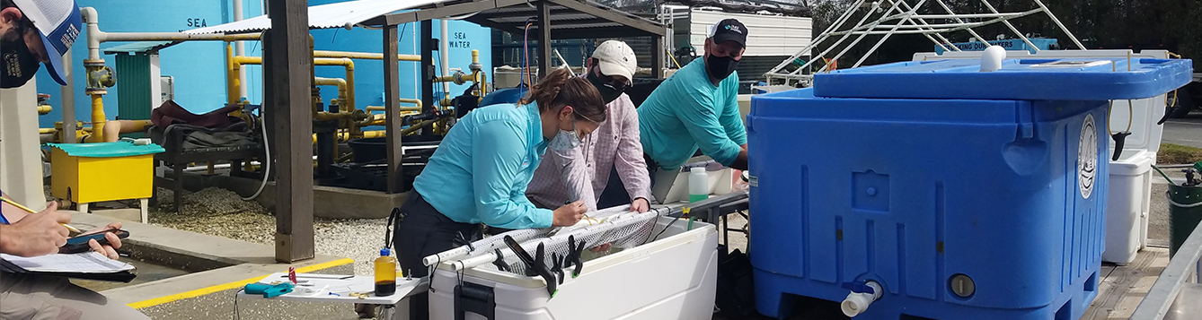 UF scientists tagging snook