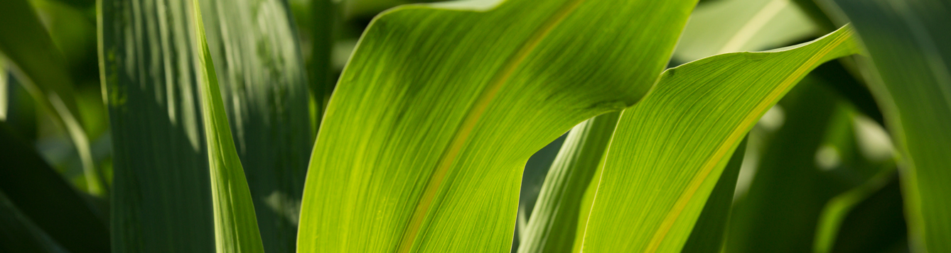 Close up of a corn plant