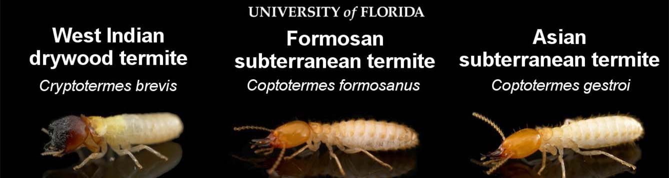 image - formossan, west indian drywood and asian subterranean termites