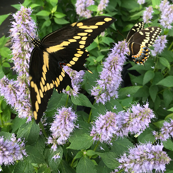 Swallowtails on Agastache blue fortune