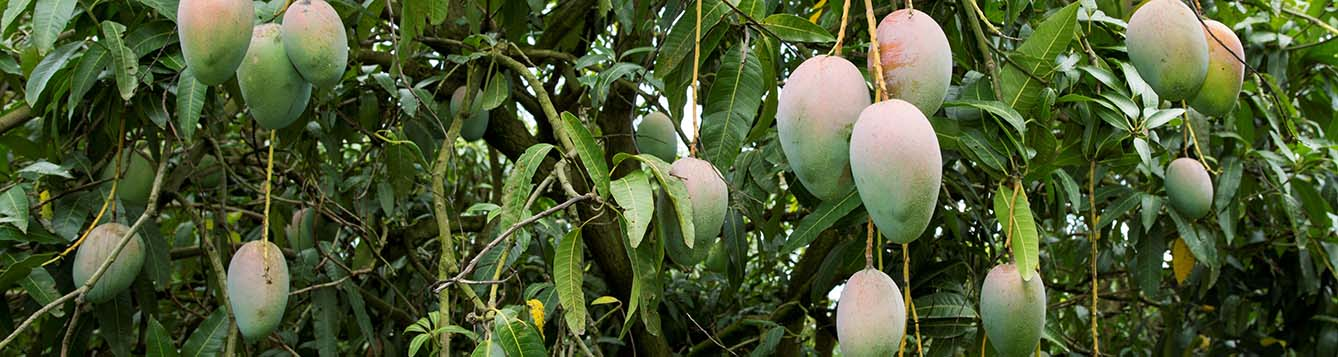 angoes from a mango tree in South Florida landscape
