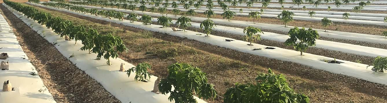 image - papaya trial field at TREC for Chambers Brewer study