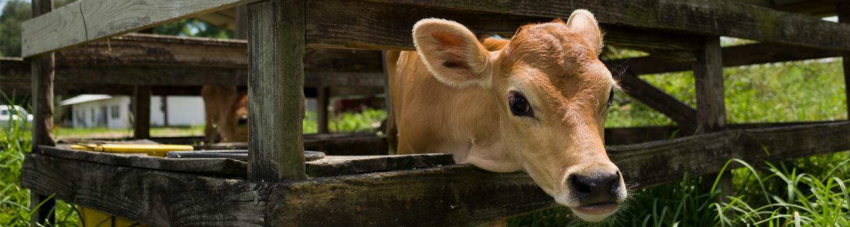 A Jersey calf in a pen
