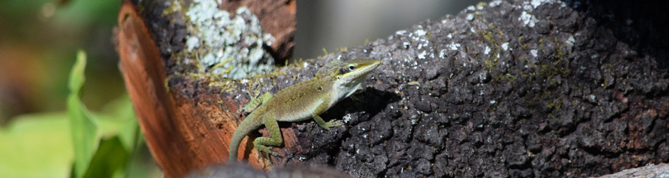 An anole on a branch