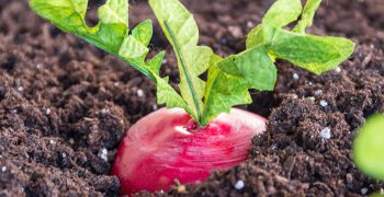 Beets in Soil