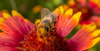 Blanketflower with bee. Photo credit: Geena Hill