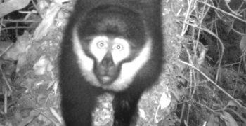 L'Hoest's Monkey, also called mountain monkey, in the Nyungwe National Park in Rwanda. Photo courtesy of the Wildlife Conservation Society - Rwanda Program