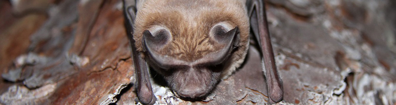 A bonneted bat sits on the bar of a tree