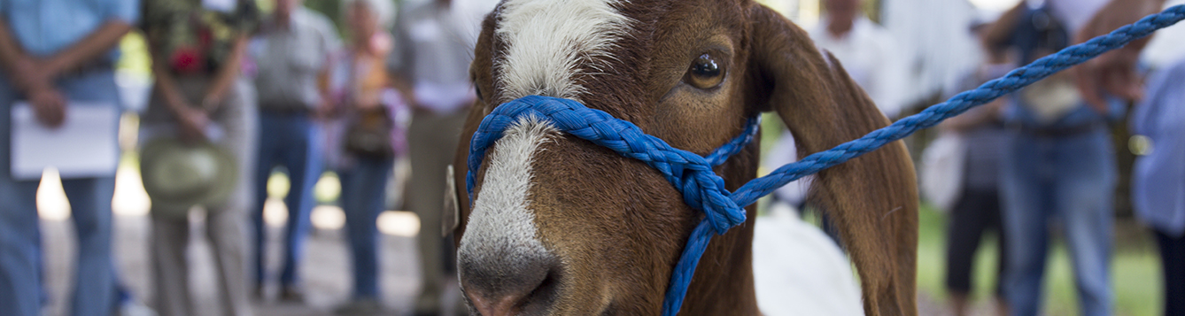 goat in a halter