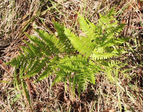 brackenfern plant