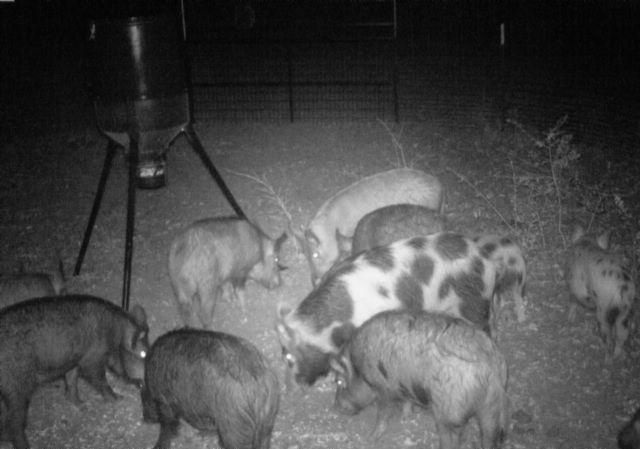 sounder of hogs in a trap