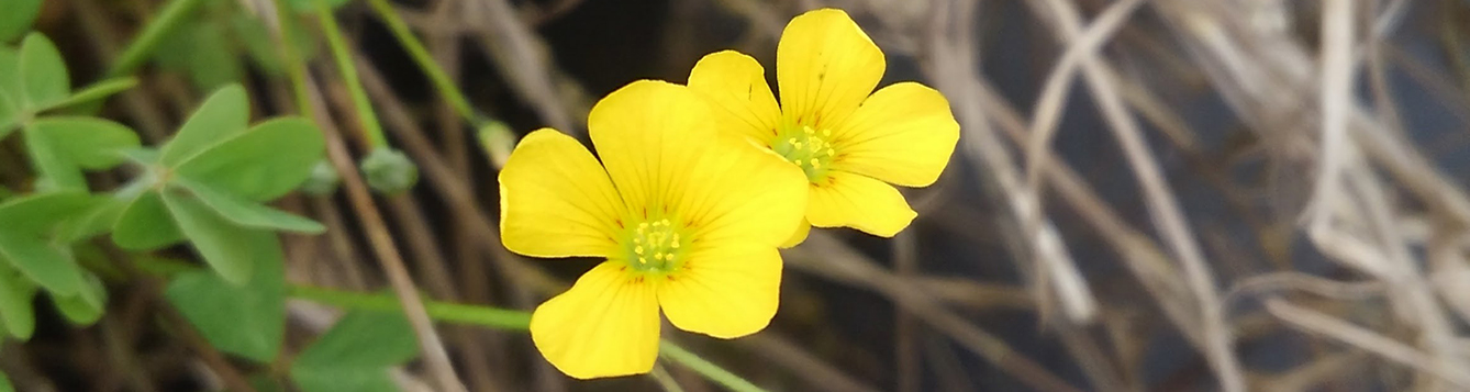 yellow woodsorrel flower