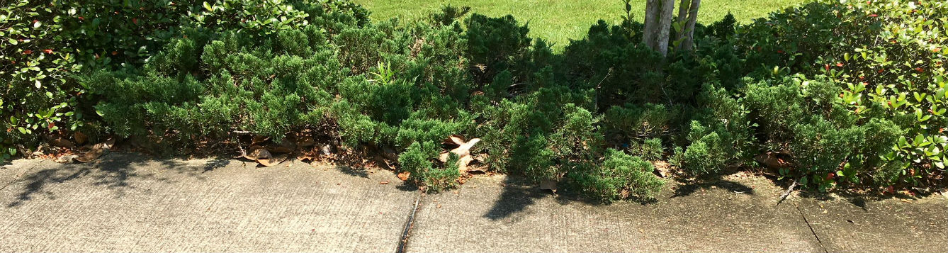 juniper growing over sidewalk