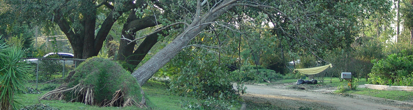 Partly uprooted, leaning oak tree in landscape following Hurricane Ivan